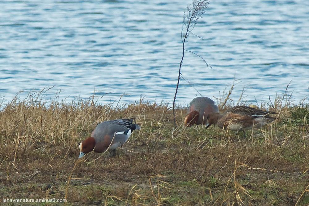 Canard siffleur  /  Wigeon