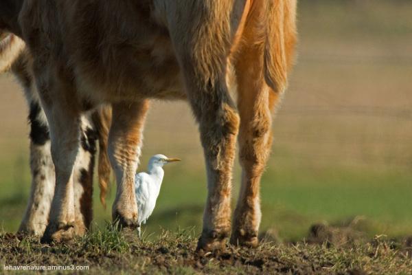 Héron garde - boeufs  /  Cattle egret