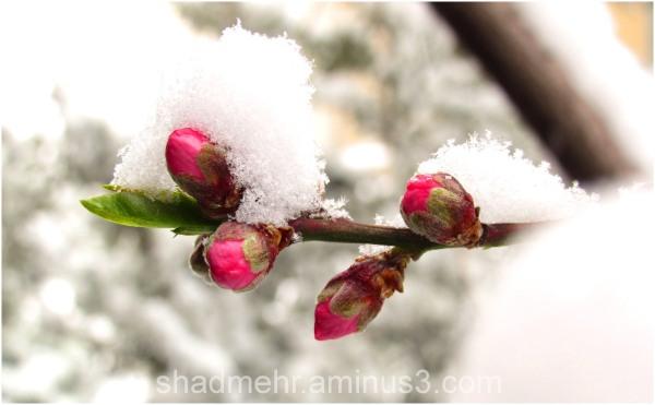 Blossom of snow