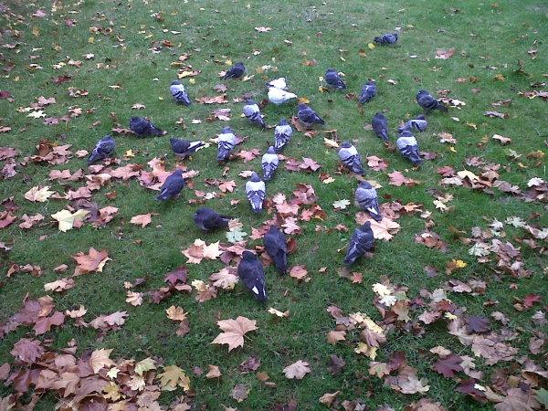 27 Pigeons