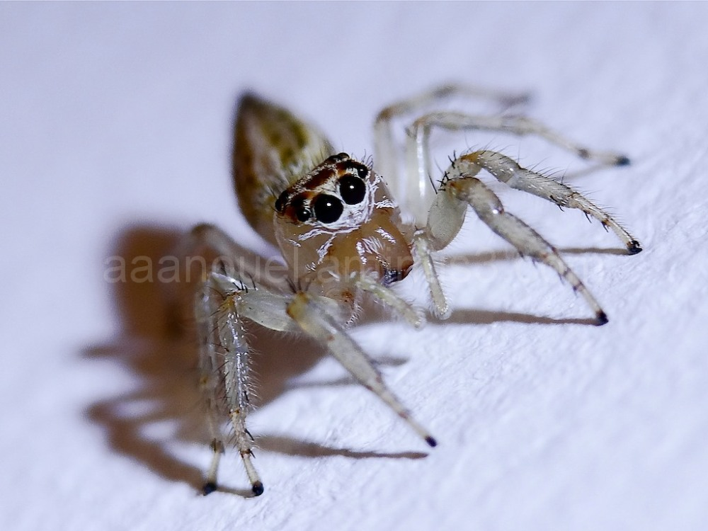 tiny, macro, jumping spider, Costa Rica, aaanouel