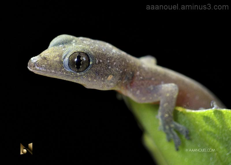 gecko lizard baby tiny little nice cute reptile