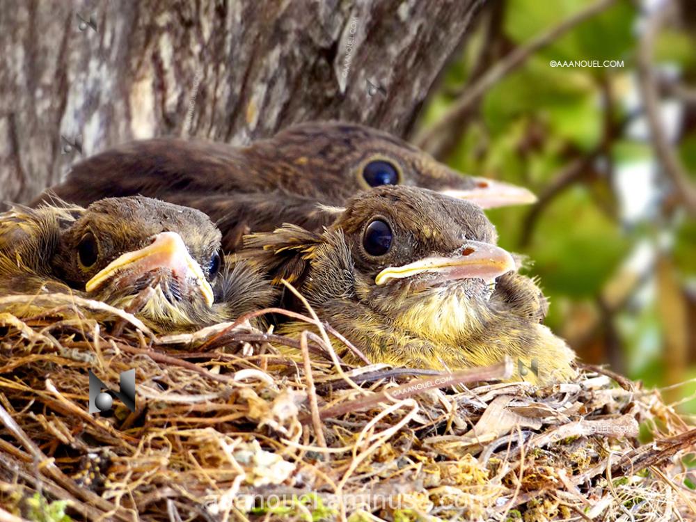 Turdus leucomelas paraulata yiguirro bird aaanouel