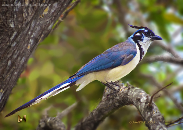 Blue Jay Bird Costa Rica aaanouel