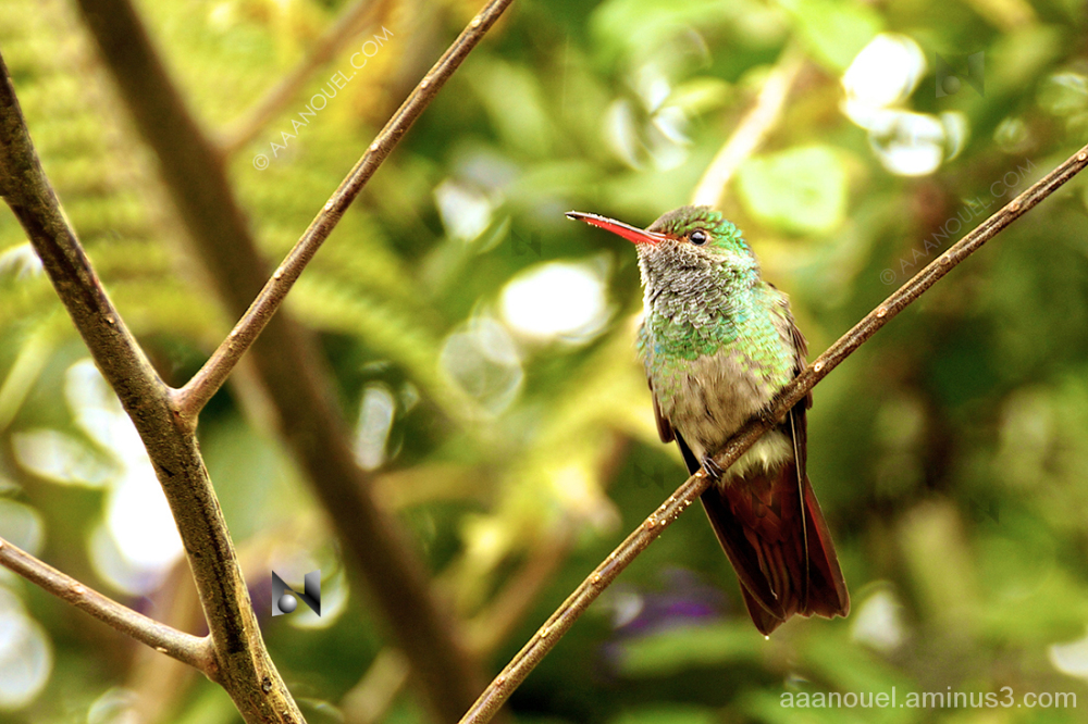 hummingbird colibrí costa rica birds cute little