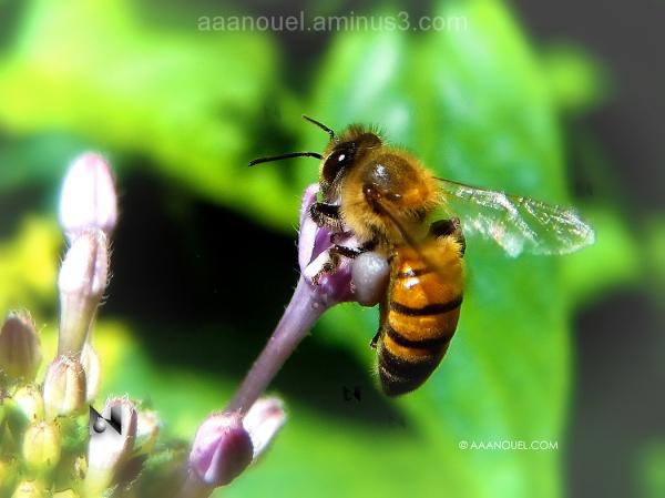flying  bee flower pollen aaanouel costa rica
