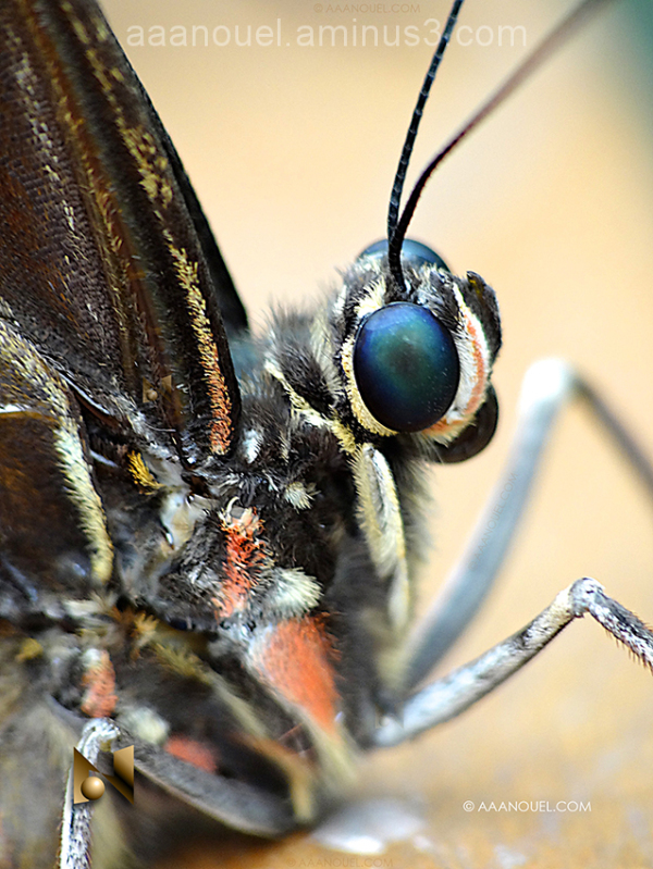 butterfly mariposa macro costa rica aaanouel