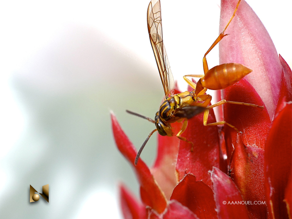 wasp sting macro costa rica aaanouel