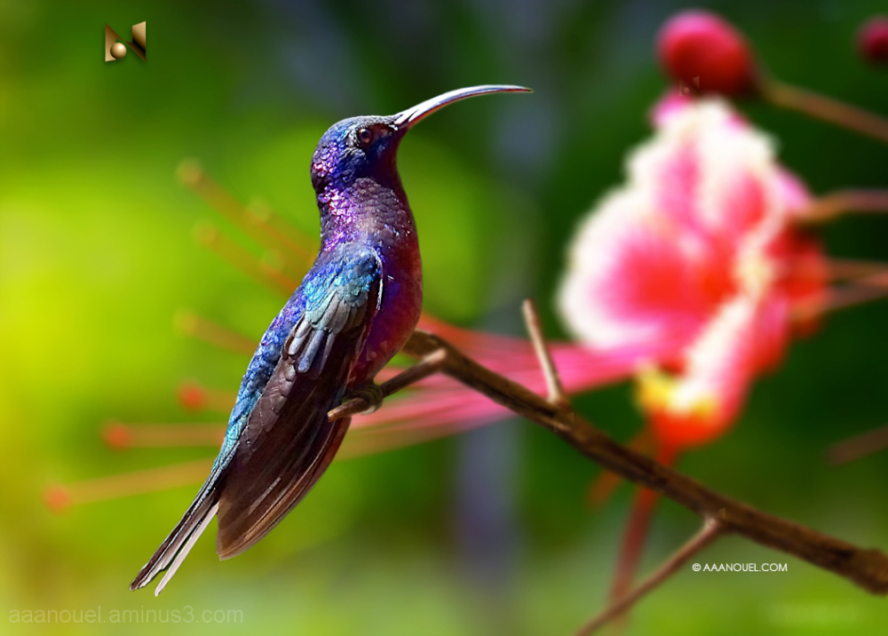 hummingbird colibri blue flower aaanouel