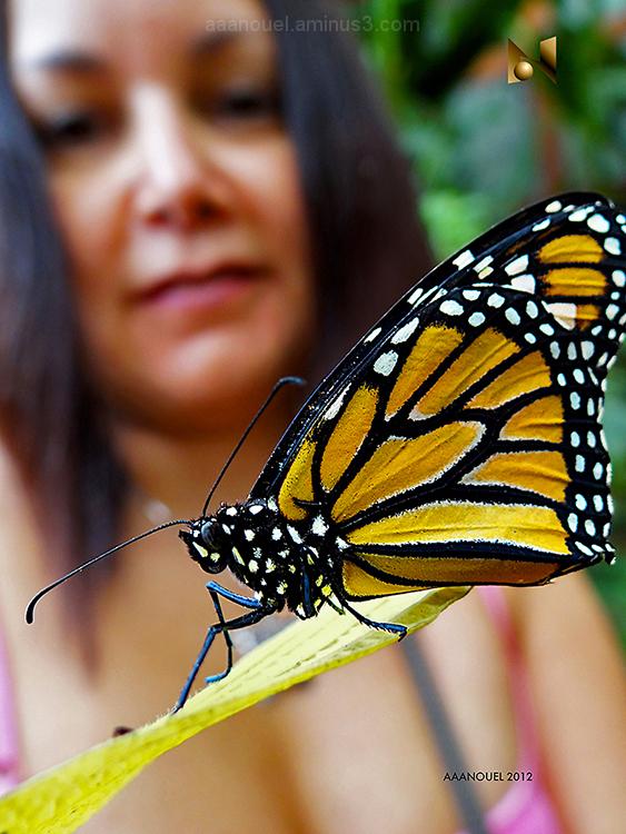 Butterfly monarch mariposa monarca aaanouel
