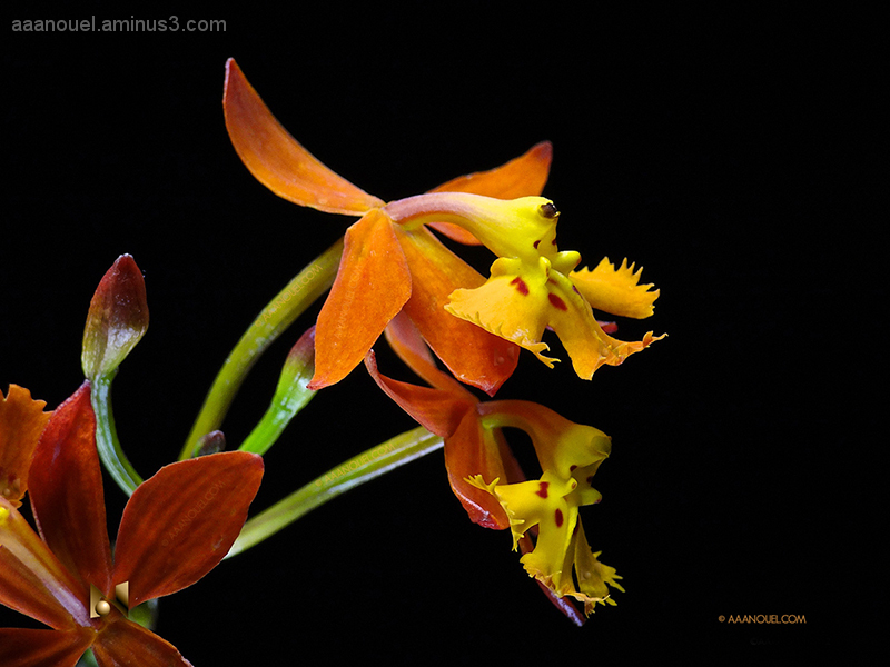 tropical tiny orchid focus stacking costa rica
