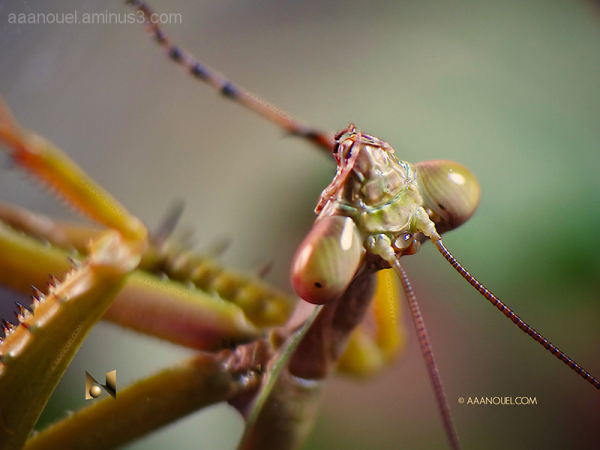 praying mantis religiosa macro aaanouel