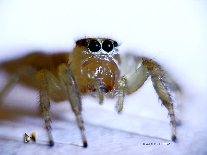 young jumping spider opteka 10X macrolens aaanouel