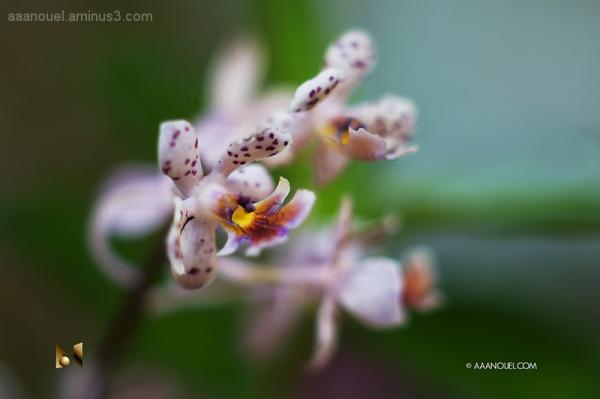 Coronado's Orchid 2/3