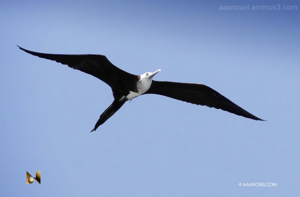 Fregata magnificens fragata bird aaanouel