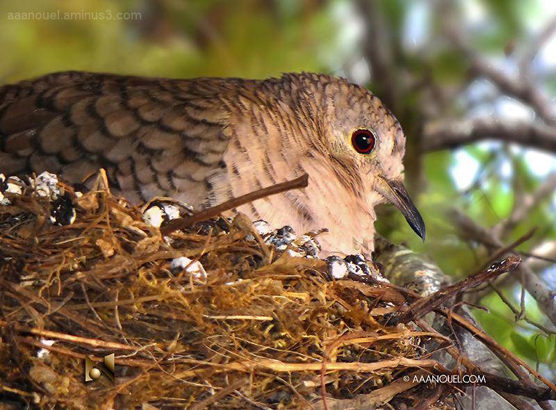 Common Ground Dove Columbina passserina aaanouel