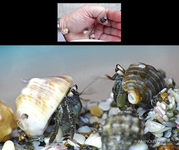 baby hermit crab costa rica beach aaanouel