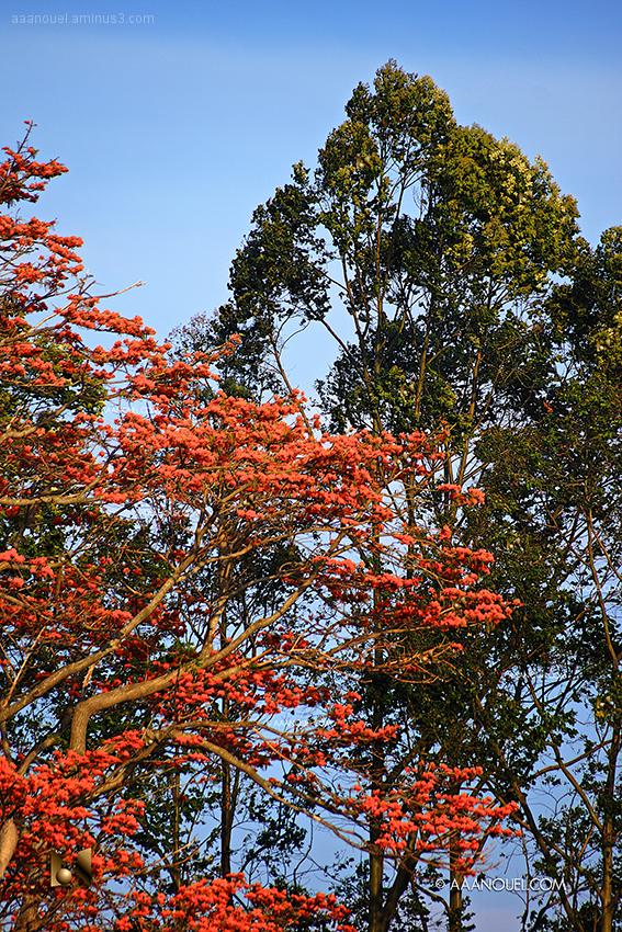 bucare ceibo erytrina poeppigiana[ orange flower