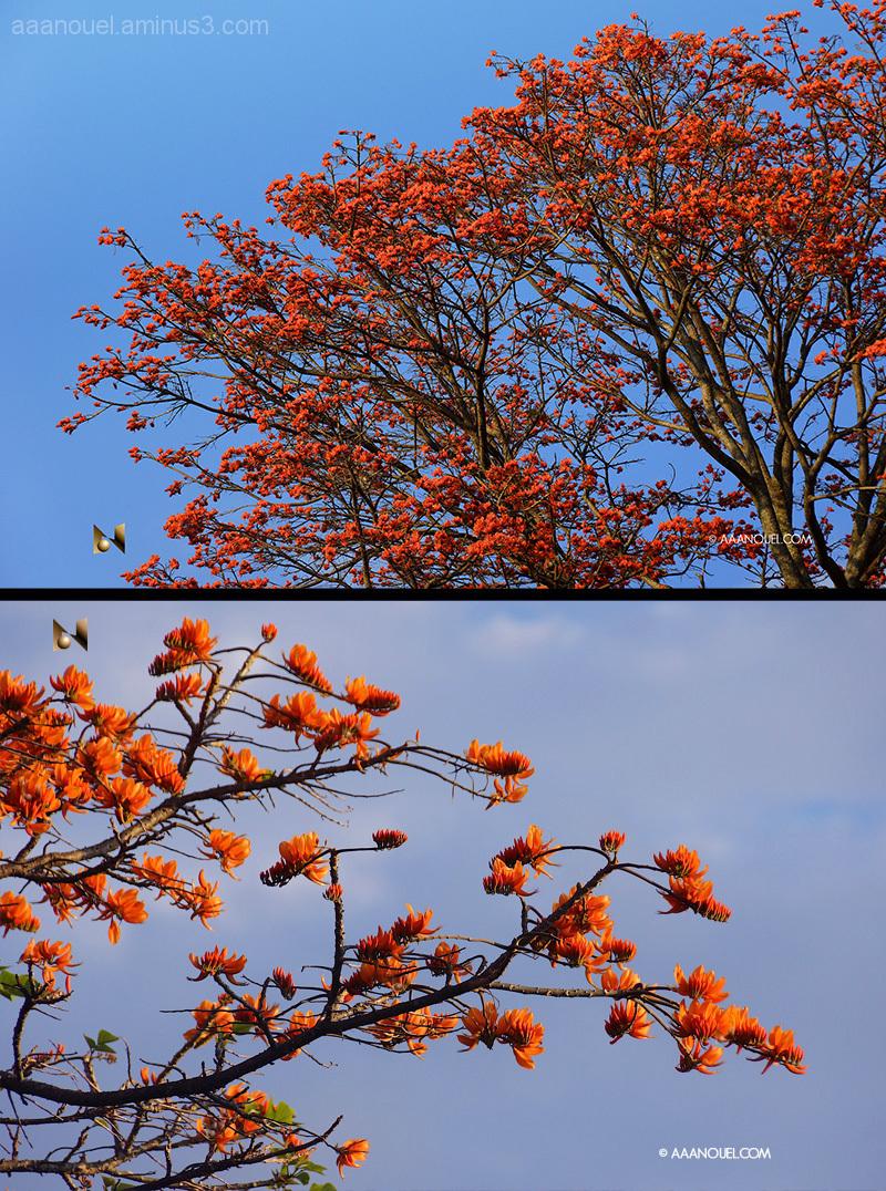 bucare ceibo erytrina poeppigiana orange flower