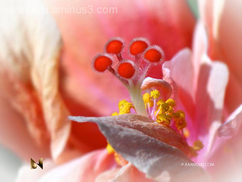 Pink Hibiscus Heart
