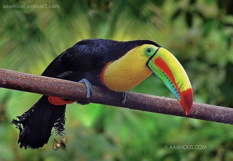 ramphastos sulfuratus toucan tucán aaanouel
