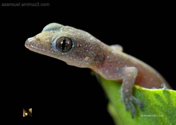 gecko lizard baby tiny nice reptile aaanouel
