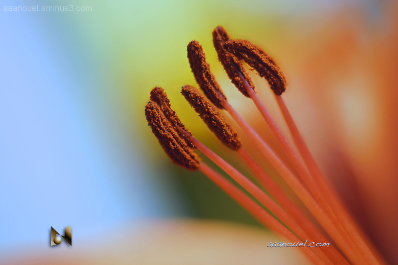 stamen lirio lily estambres macro aaanouel