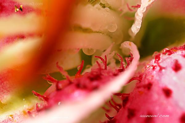 Lily Lirio estambres stamen aaanouel aaanouel.com