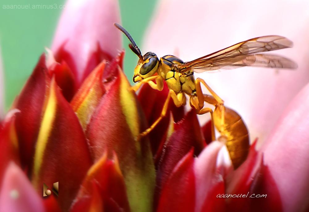 yellow sting hornet avispa amarilla aaanouel
