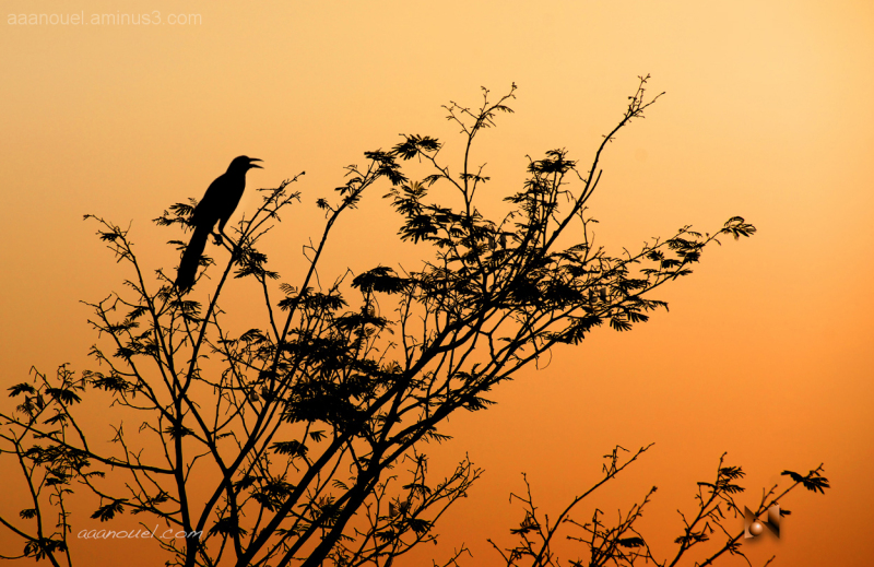 Great-tailed Grackle sunset silhouette aaanouel