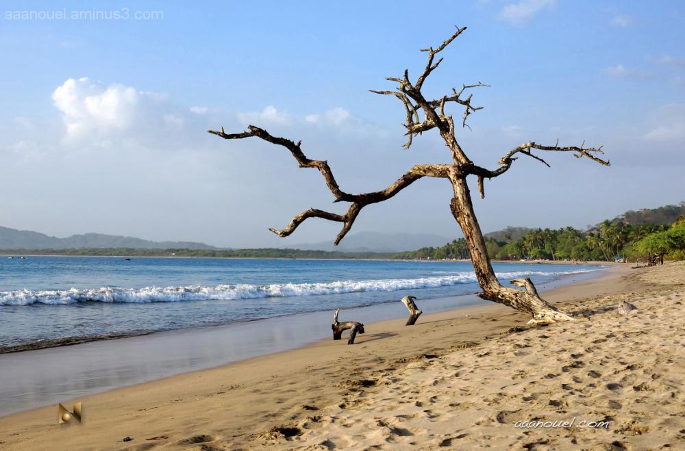 Tamarindo beach playa dried tree aaanouel  Costa R