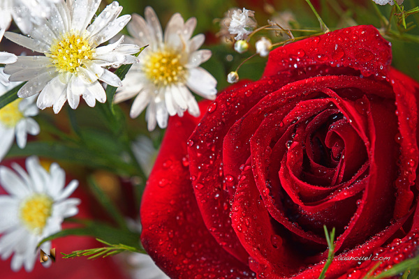 red rose daisy close-up marumi-200 aaanouel dew