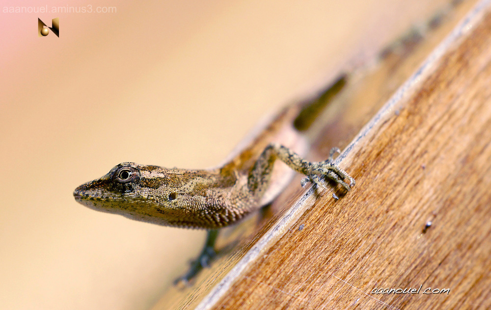 Small Lizard macro aaanouel Costa Rica