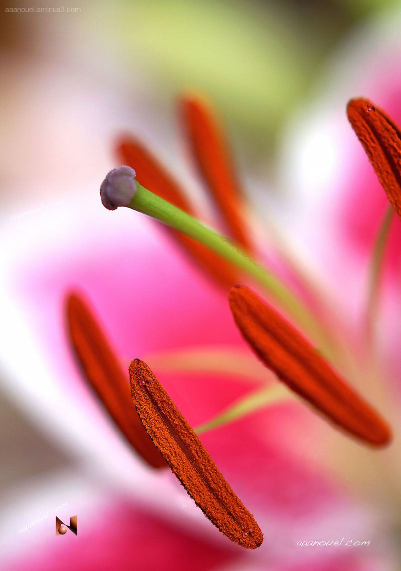 LilyStamen Pollen close-up Macro Color Harmony aaa