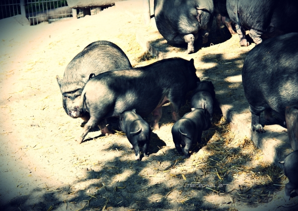 Pot-Bellied Pigs with piglets