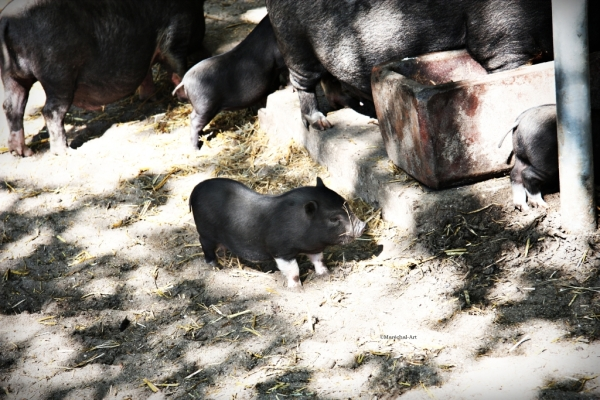 Pot-Bellied Piglet in Zoo