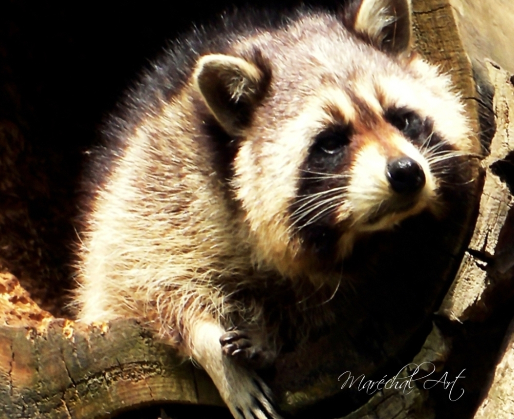 Tired Racoon