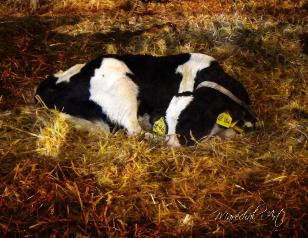Sleeping calf