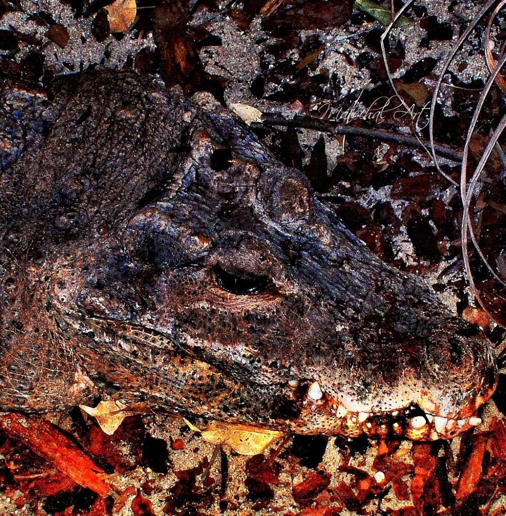 Crocodile camouflaged