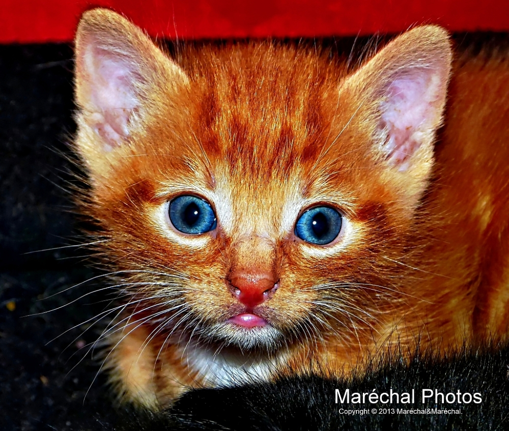 Orange kitten with blue eyes
