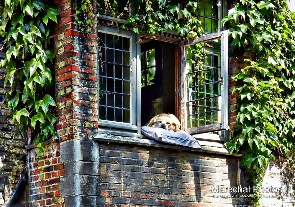 Popular sleeping dog in Brugge,Belgium