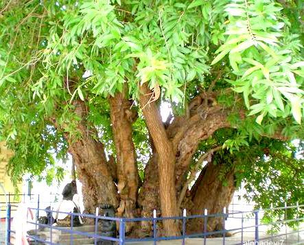 Ankola Tree    /   Aerezhinjal Tree