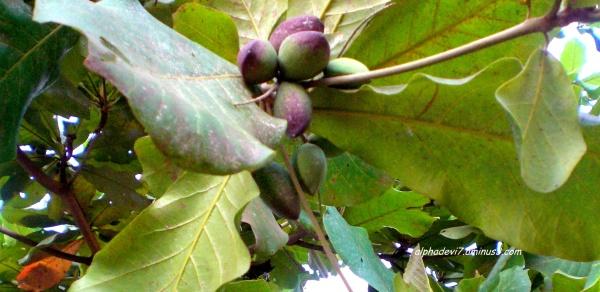 Amazing Nut