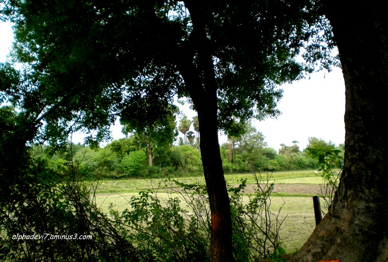 Waiting  for the fresh saplings