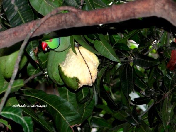 The parakeet again