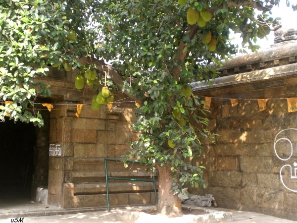 A very old Jackfruit tree