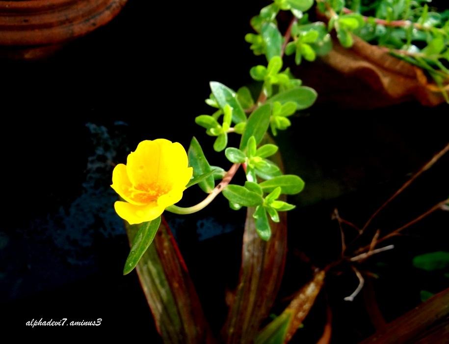 The Golden Blossom