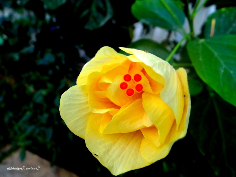 The double hibiscus