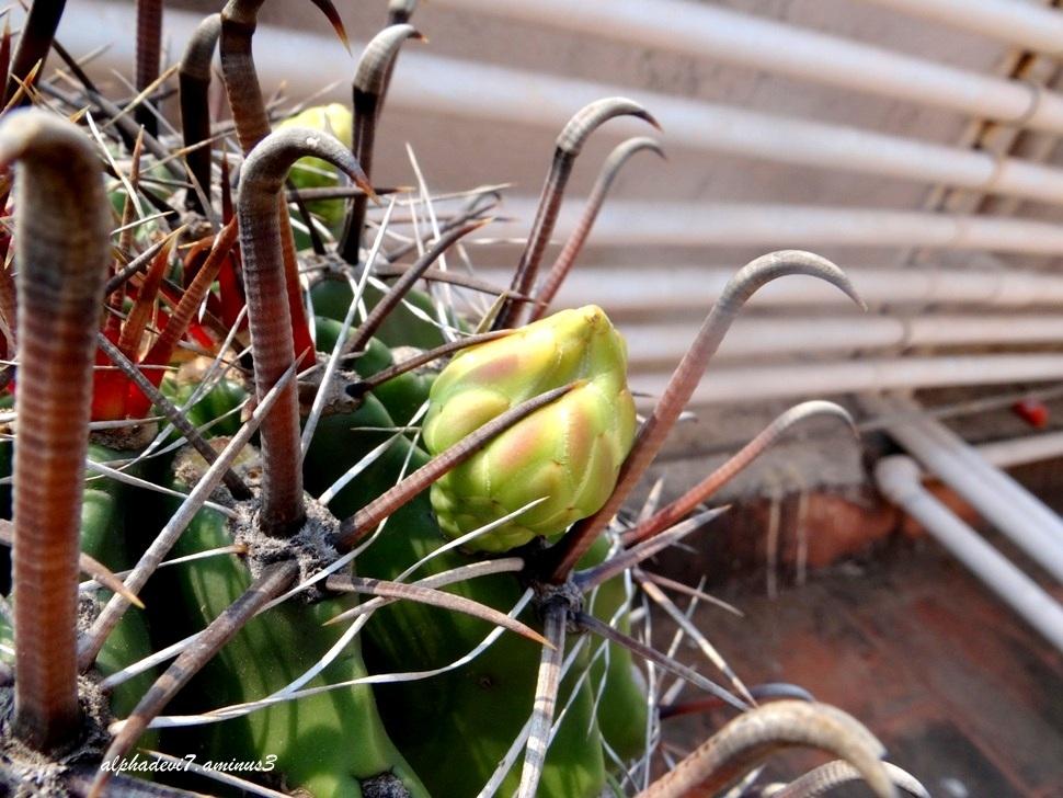 The Cactus blooms / 1
