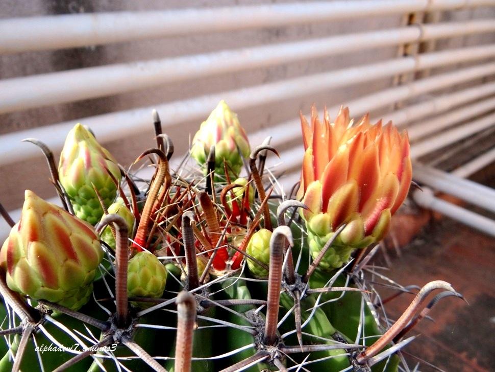 The cactus blooms...4